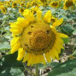 「ひまわり」が彩る北海道の夏。世界に誇る「ひまわり畑」5選!