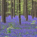 青い花の絨毯に覆われる美しい森。ベルギーの『ハレルボスの森』