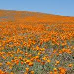 オレンジ色に染まる大草原。カリフォルニアのポピー保護区が美しすぎる!