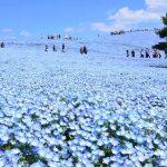 丘一面に広がる青い世界。GWが見頃!国営ひたち海浜公園のネモフィラ。