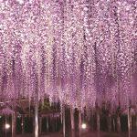 藤の花が創りだす幻想的な世界へ!あしかがフラワーパーク「ふじのはな物語~大藤まつり~」が開催。