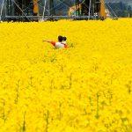 日本一大きな黄色い絨毯に大感動。青森・横浜町の菜の花畑が凄い