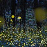 幻想的な光の乱舞。『天王八幡神社の金ボタル』に感動すること間違いなし!