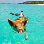 カリブの無人島で泳ぐ豚!?バハマにある『エグズーマ島』