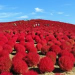 真っ赤なモフモフの絨毯を見に行こう!国営ひたち海浜公園のコキア