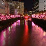 冬に咲き光る桜のイルミネーション!『目黒川みんなのイルミネーション2015』が開催