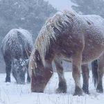 厳冬の風雪に耐え春を待つ・・・・。青森・尻屋崎の「寒立馬(かんだちめ)」