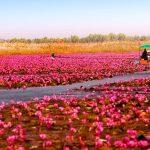 一面に広がる赤い蓮!タイの『ノンハン湖』がまるで天国のよう