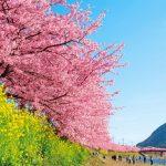 ひと足早く春爛漫 ♪満開の河津桜を見に行こう!
