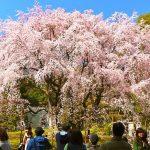 東京の桜を楽しもう!東京のお花見スポット25選【第1弾】