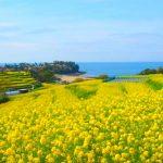 2000万本の菜の花の絨毯!大分県の『長崎鼻リゾートキャンプ場』