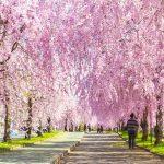 東北の桜はこれから見頃!東北のお花見の名所25選【第2弾】