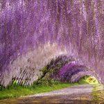 世界が絶賛する絶景へ!北九州市『河内藤園』の藤棚。